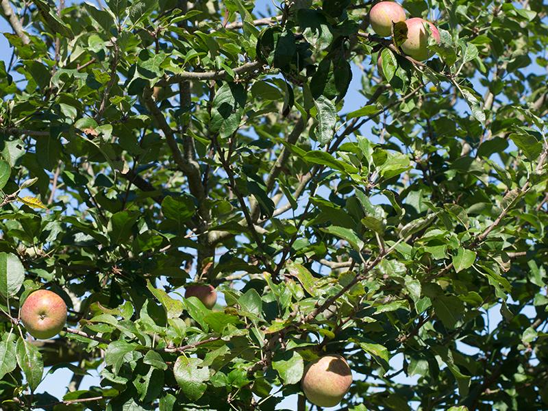 Manzanas Asturianas Finca El Ribeiro Asturias